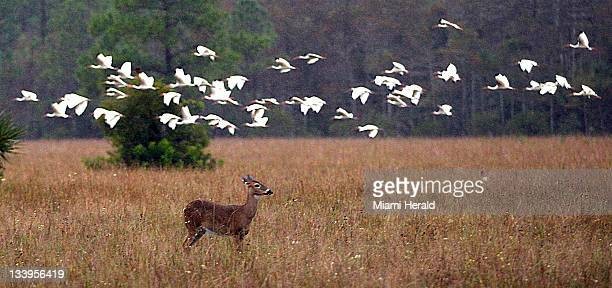 A deer and birds occupy the swamplands near a camp owned by Ron Bergeron in Big Cypress Swamp in Florida and seen on November 10 2011