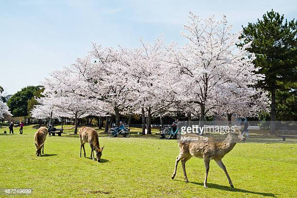 Deer and Cherry Blossoms
