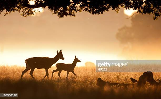 deer and fawn - fawn stock photos and pictures