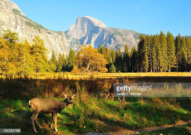Deer and Half Dome