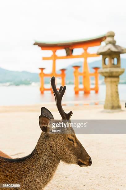 Deer and japanese torii