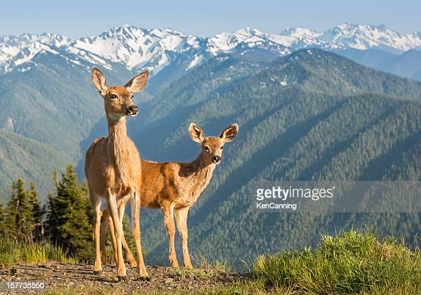 deer and mountains - mule deer stock photos and pictures