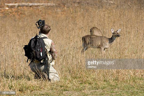 deer and photographer - white tail deer stock photos and pictures