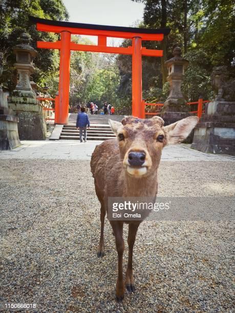 Hirsche und Touristen vor dem torii Gate im Nara Park, Japan
