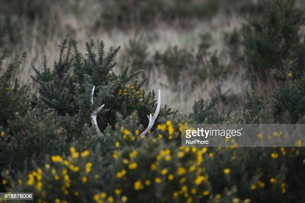 A deer antlers seen near the BrayGreystones cliff walk On Thursday February 15 Dublin Ireland