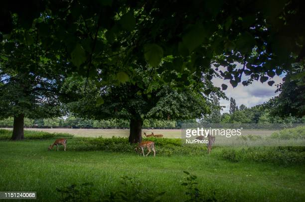 Deer are pictured at Bushy Park, London on June 16, 2019.