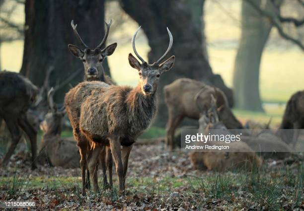 Deer are pictured in Richmond Park on March 27, 2020 in London, England. The royal parks have remained open as the Coronavirus pandemic has spread to...