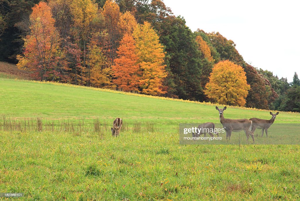 Deer at grass field with autumn trees at the background : Stock Photo