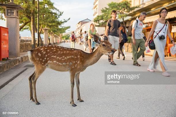 Deer at Miyajima, Hiroshima Prefecture, Japan