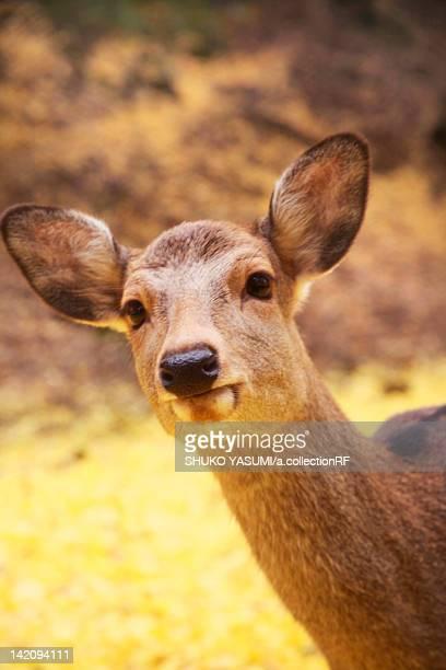 Deer at Nara park, Nara Prefecture, Honshu, Japan