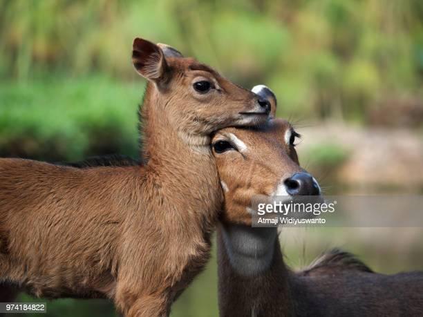 deer (tragulus) at taman safari, cisarua, bogor, indonesia - bogor stock pictures, royalty-free photos & images