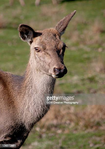 deer at wentworth castle - south yorkshire stock pictures, royalty-free photos & images