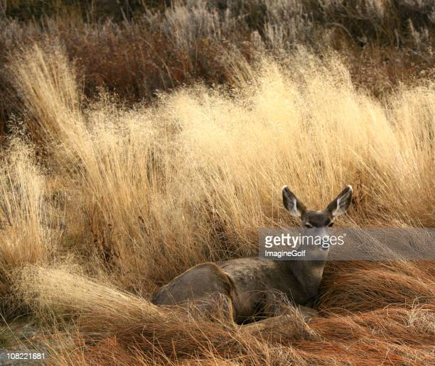 deer bedding down in a meadow - mule deer stock photos and pictures