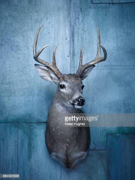 deer bust taxidermy on blue wall - dead deer stock photos and pictures