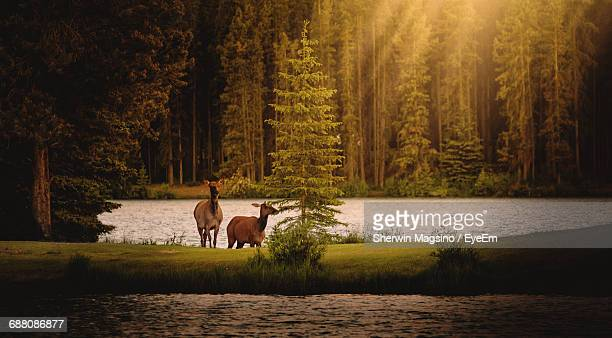 Deer By The Countryside Lake