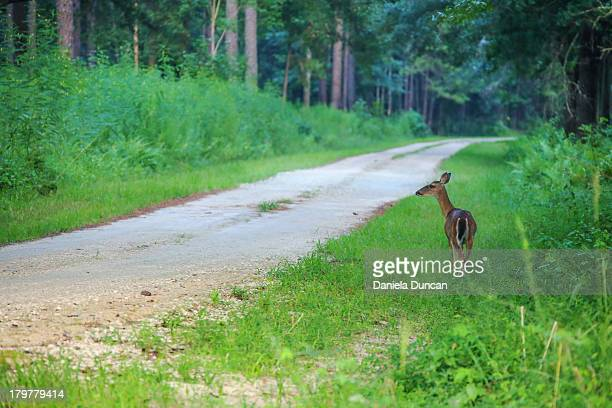 deer by the road - biche photos et images de collection