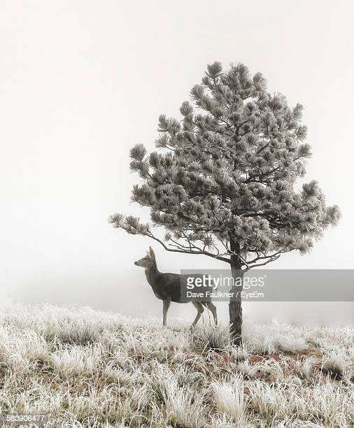 Deer By Tree On Grassy Field Against Clear Sky During Winter