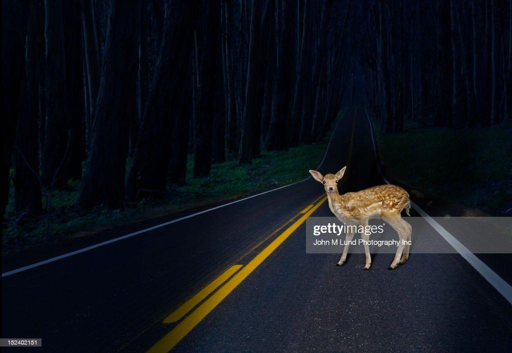 Deer caught in headlights on rural road : Stock Photo
