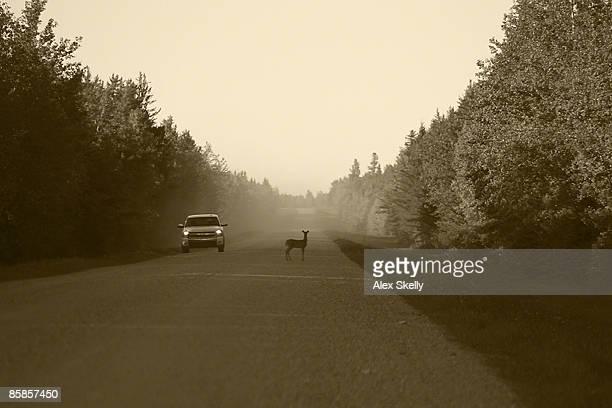 deer caught in headlights - deer in headlights stock pictures, royalty-free photos & images