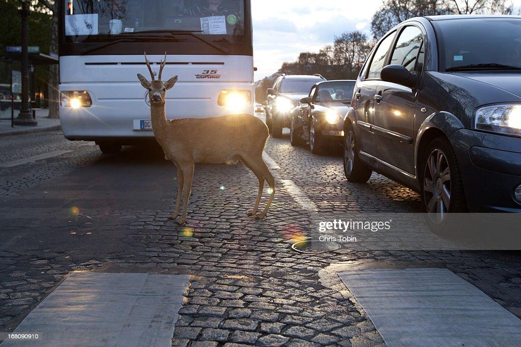 Deer caught in the headlights : Stock Photo