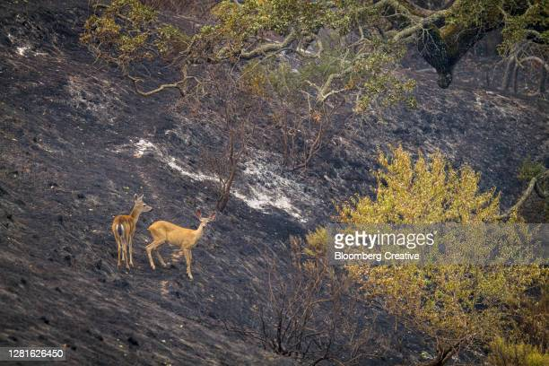 deer caught in wildfires - forest fire stock pictures, royalty-free photos & images