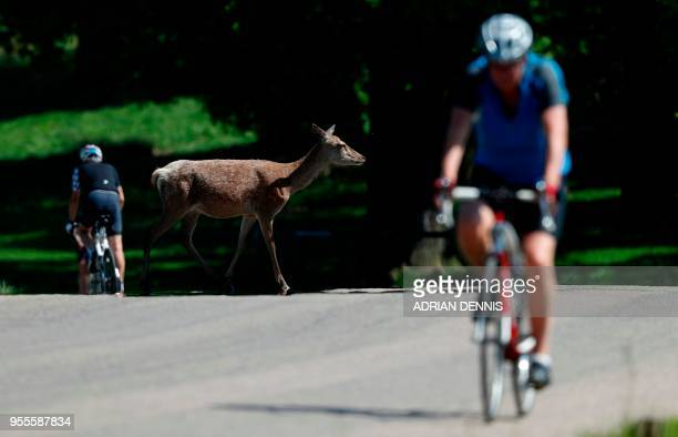 A deer crosses a road as a cyclists ride their bicycles in the sunshine in Richmond Park in south west London on May 7 2018 Temperatures on Monday...