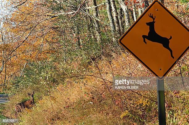 A deer crosses at a 'deer crossing' in the Shenandoah National Park November 1 2008 AFP PHOTO/Karen BLEIER