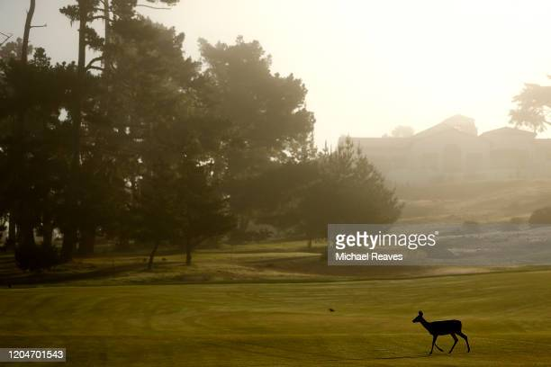 A deer crosses the first fairway during the second round of the ATT Pebble Beach ProAm at Monterey Peninsula Country Club on February 07 2020 in...