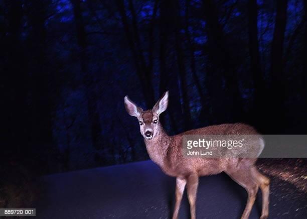 deer (cervidae) crossing road, caught in headlights (composite) - deer in headlights stock pictures, royalty-free photos & images