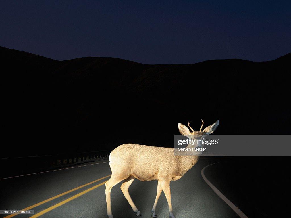 Deer crossing road caught in headlights : Stockfoto
