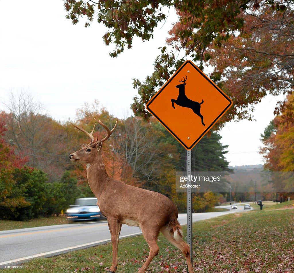Deer Crossing Road : Stock Photo