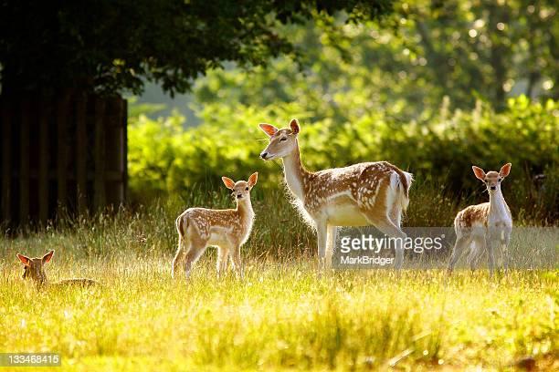 deer doe - femmina di daino foto e immagini stock