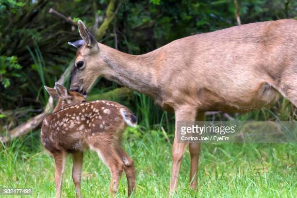 Deer Family On Field At Forest
