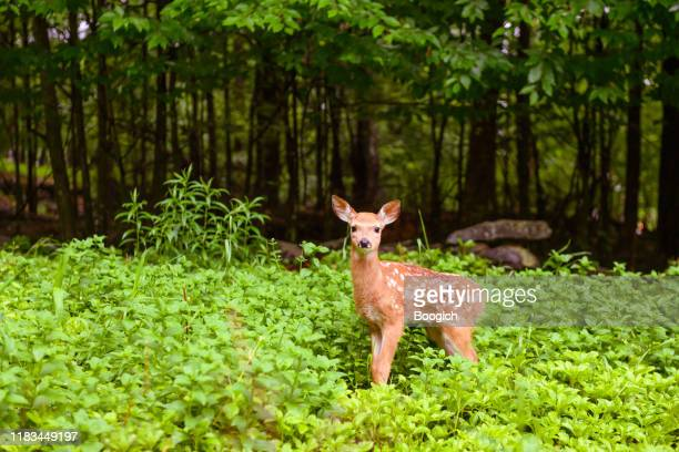 deer fawn in the forest of the catskill mountains in new york state usa - cerbiatto foto e immagini stock
