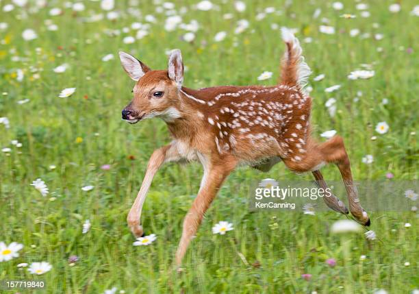 deer fawn - fawn stock photos and pictures