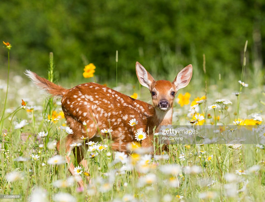 Deer Fawn : Stock Photo