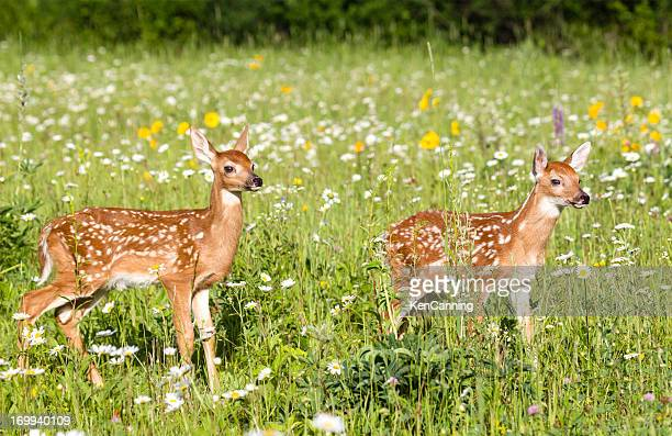 deer fawns - fawn stock photos and pictures