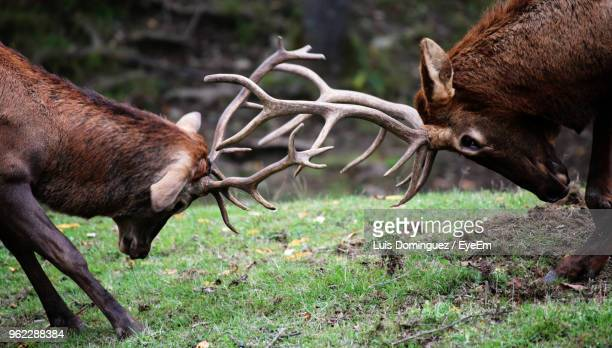 deer fighting on field in forest - rivaliteit stockfoto's en -beelden