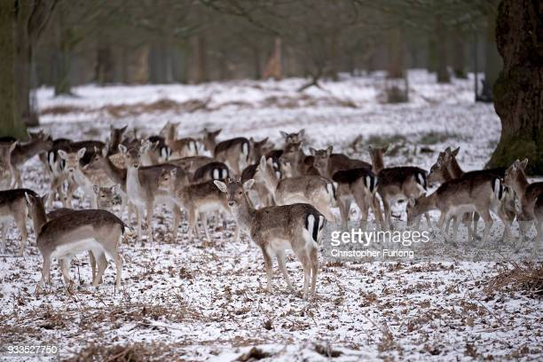 Deer forage for food at the National Trust's Dunham Massey Park during a weather front that has been dubbed the 'mini beast from the East' on March...