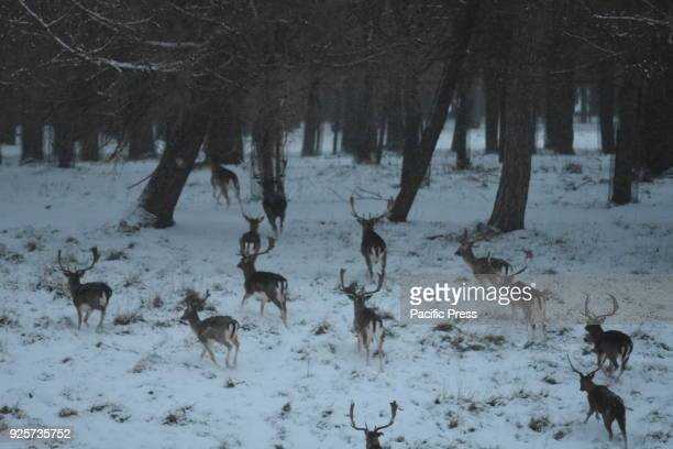 Deer forage for food in Phenix Park as the highest level weather warning has been issue across Ireland