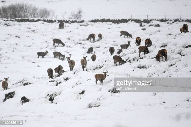 Deer forage for food in the snow on February 6, 2021 in Kirkmichael,Scotland. Weather warnings are in place in the UK for Saturday as Storm Darcy is...