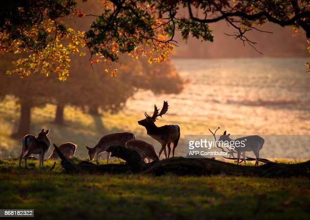 Deer graze in Fountains Abbey deer park near Ripon in North Yorkshire northern England on October 30 2017 / AFP PHOTO / Lindsey Parnaby