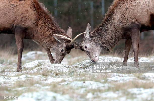 Deer graze in Richmond Park on February 08, 2021 in London, United Kingdom. Heavy snow in Scotland and South East England over this weekend kick...