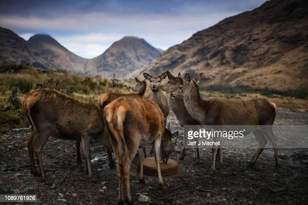 Deer graze in the Highlands on January 4, 2019 in Glen Etive, Scotland. Britain's largest wild animal, The Red Deer, roam on open moorlands around...