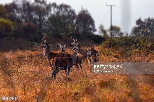 Deer graze on the Isle of Ulva off Scotland's west coast on October 20 2017 When tycoons in helicopters began landing on Scotland's Isle of Ulva its...