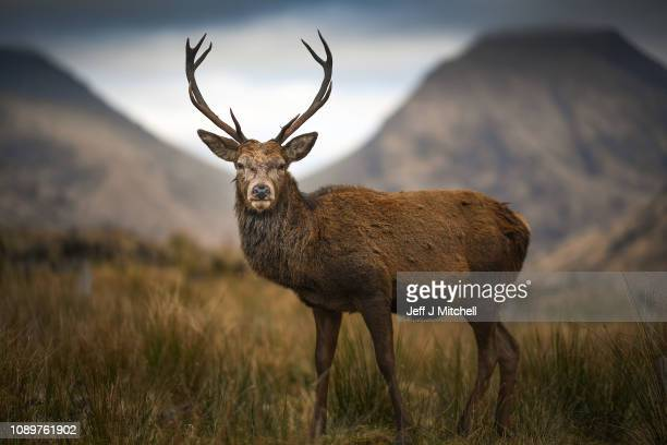 Deer grazes in the Highlands on January 4, 2019 in Glen Etive, Scotland. Britain's largest wild animal, The Red Deer, roam on open moorlands around...