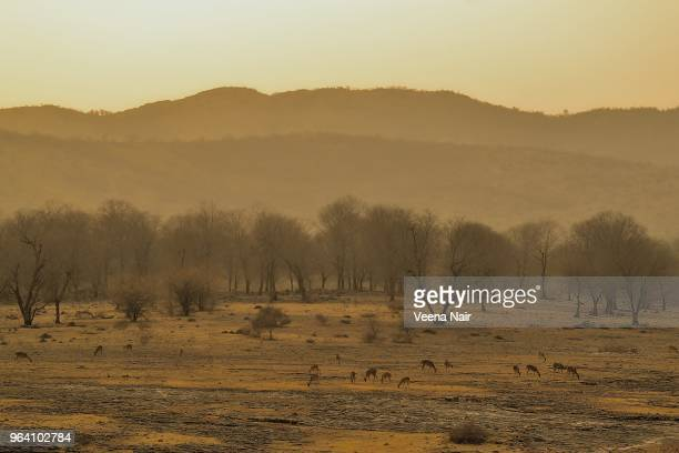 deer grazing at the ranthambore national park/rajasthan - ranthambore national park stock pictures, royalty-free photos & images