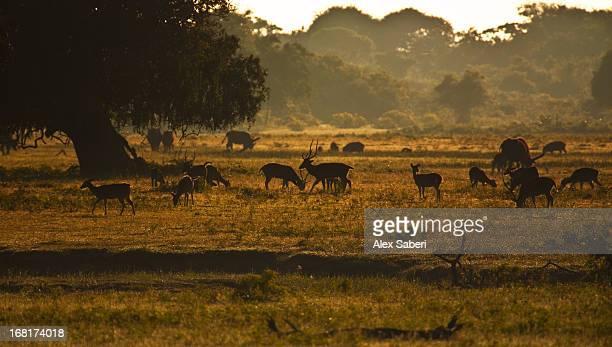 deer grazing in the early morning in yala national park. - alex saberi 個照片及圖片檔