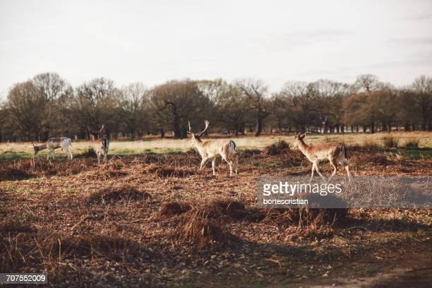 deer grazing on field against clear sky - bortes stockfoto's en -beelden