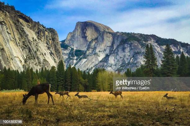 deer grazing on field against rocky mountains - yosemite nationalpark stock pictures, royalty-free photos & images